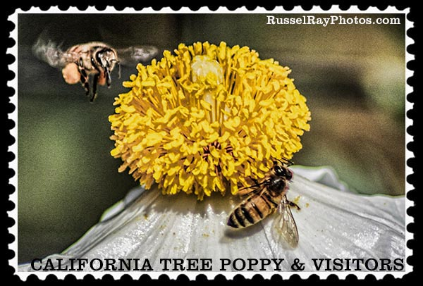 Bees and California Tree Poppy