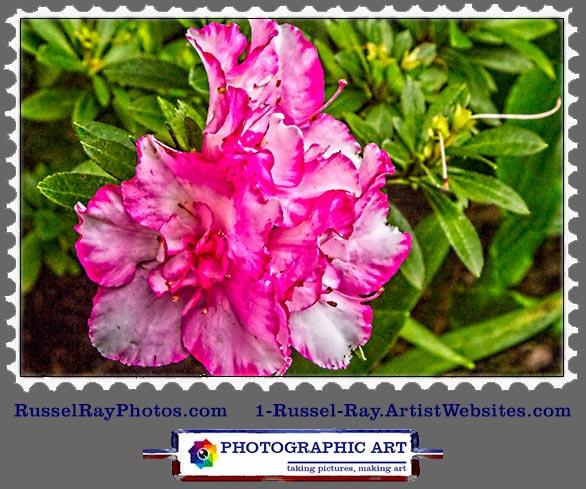 img_0417 camelia purple white stamp