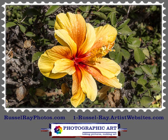 img_0539 hibiscus yellow red stamp
