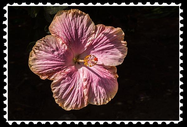 img_0549 hibiscus stamp