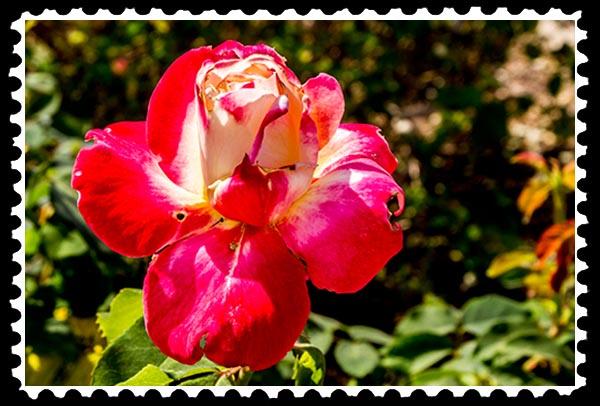 img_0555 rose stamp