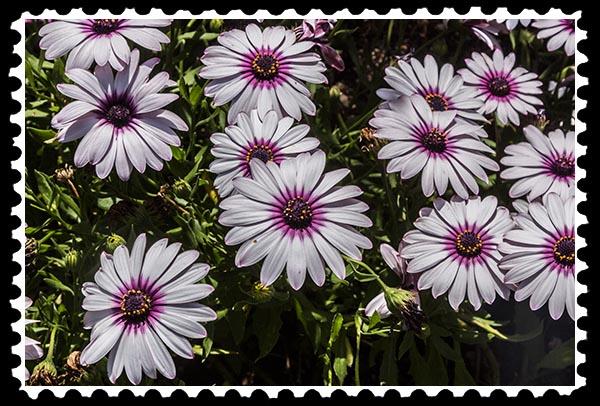 img_0565 daisy stamp