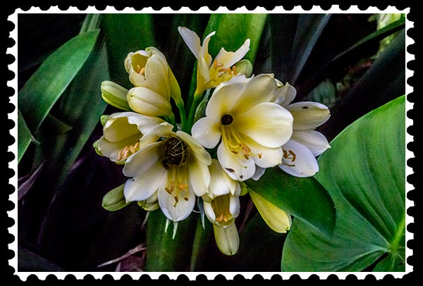 img_0886 yellow clivia stamp