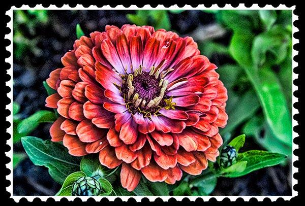 img_0916 zinnia stamp