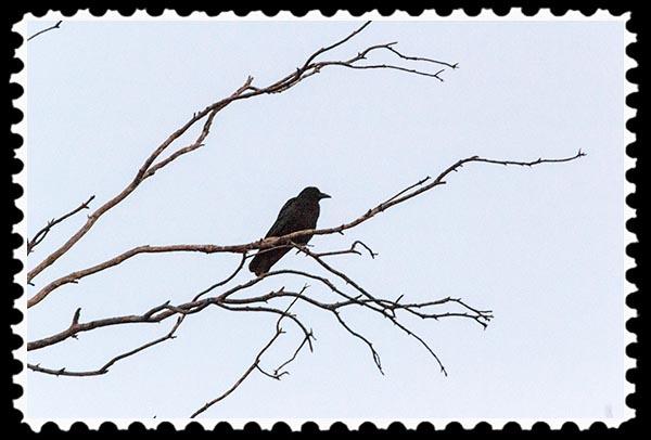 img_1570 crow stamp