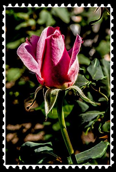 img_0564 rose stamp