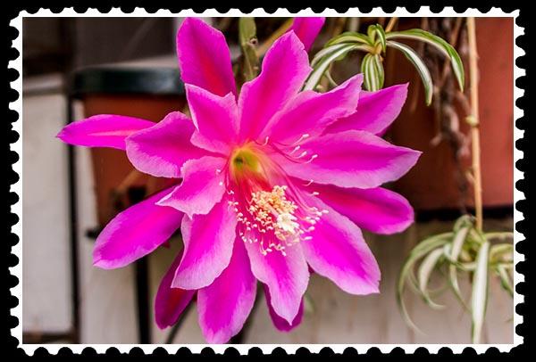 img_2015 epiphyllum stamp