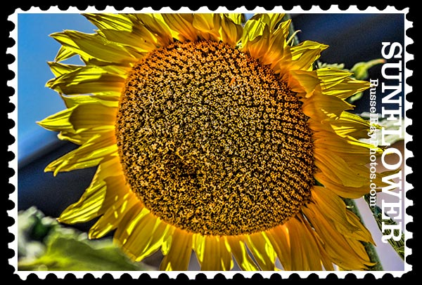 sunflower faa stamp