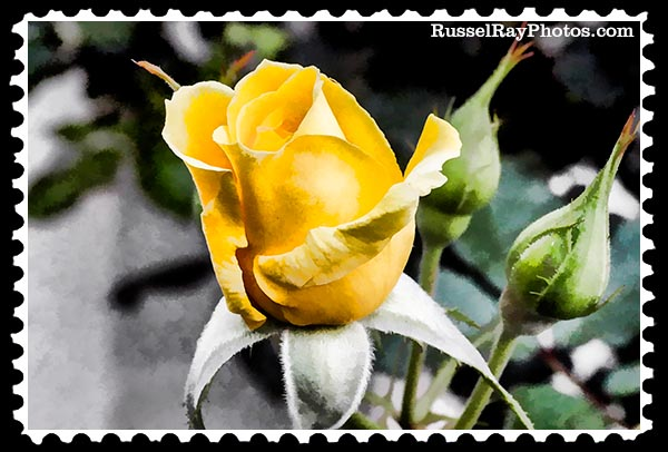 _000 rose (7) faa yellow rose stamp