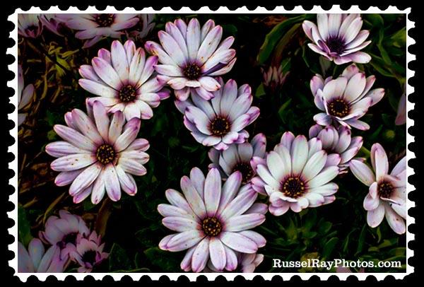 daisies faa stamp