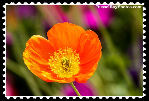 flower (5)-500 iceland poppy stamp