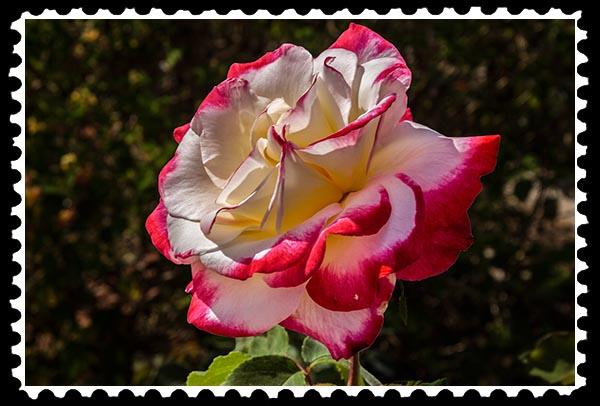 img_0556 rose stamp