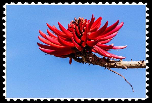 img_0557 coral tree stamp