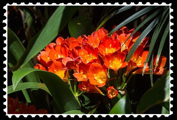 img_0894 clivia stamp