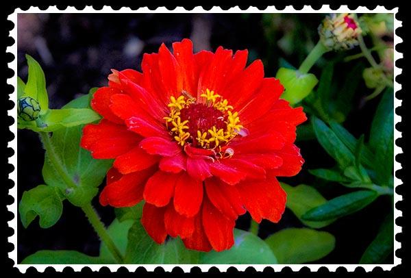 img_0915 zinnia stamp