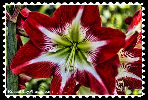 IMG_1023 faa amaryllis stamp