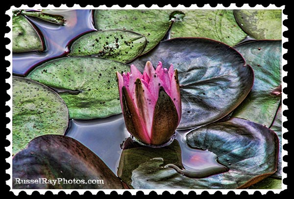 IMG_1391 water lily faa stamp