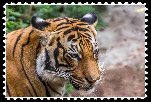 img_2249 malayan tiger stamp