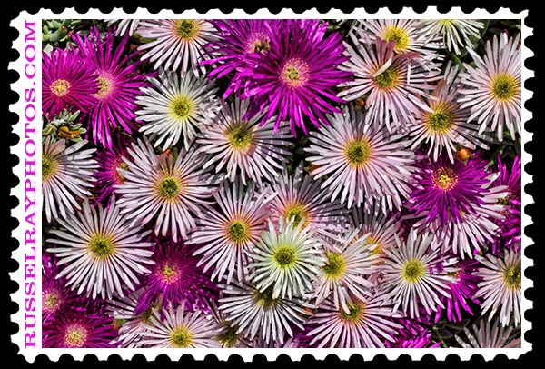 white and purple ice plant faa stamp
