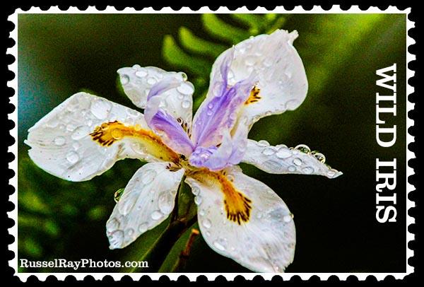 wild iris faa stamp