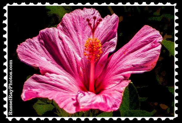 IMG_2245 pink hibiscus faa stamp