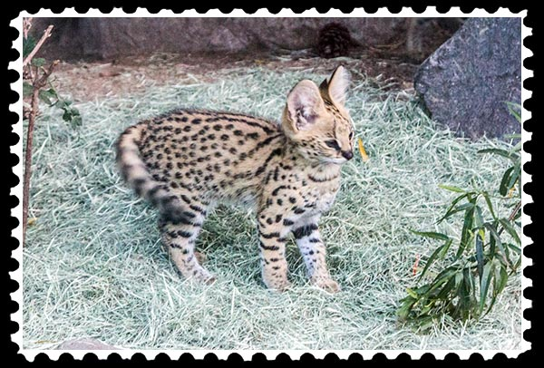 img_3912 serval kitten zoo stamp