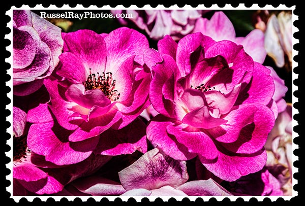 IMG_4733 faa roses stamp