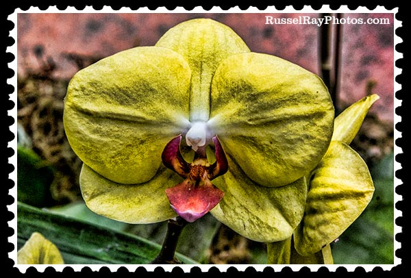IMG_5453 yellow orchid faa stamp