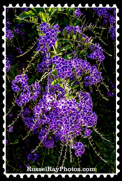 IMG_5704 purple flowers faa stamp