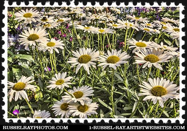 IMG_7340 daisies faa stamp