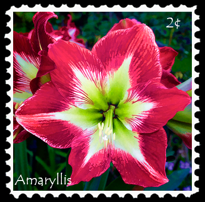 amaryllis panorama art stamp