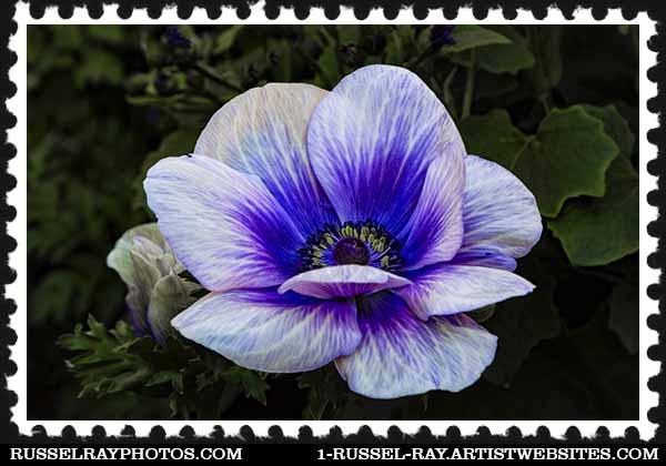 img_1551 anemone stamp