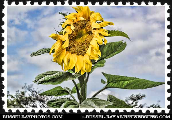 IMG_1595 sunflower aaa stamp