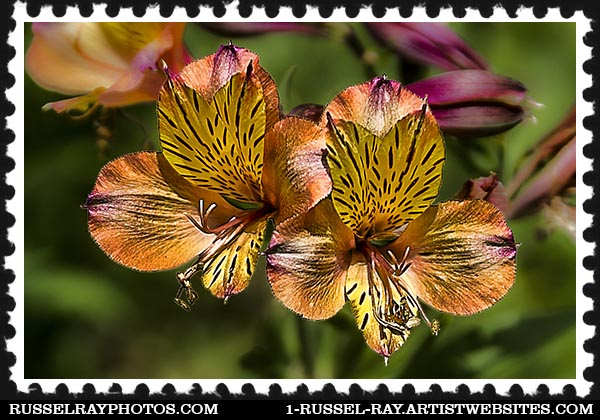 IMG_3845 alstroemeria stamp