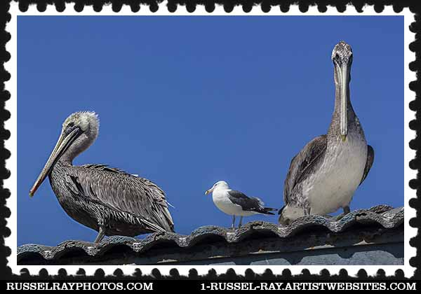 img_5122 pelicans stamp