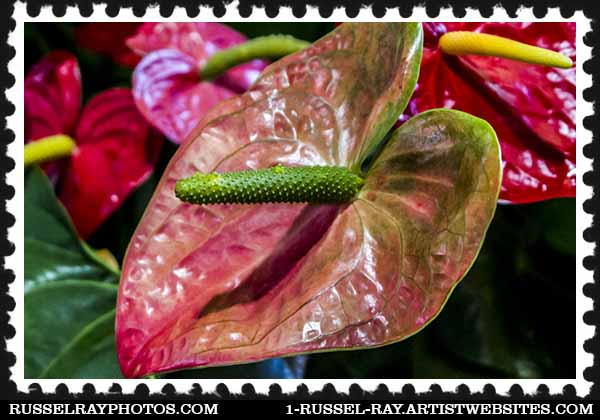 img_5142 anthurium stamp