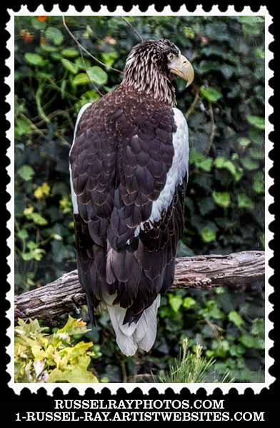 Steller's Eea Eagle