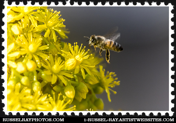 Bee and aeonium flower