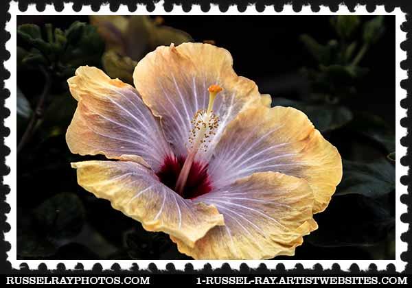 Giant Hibiscus