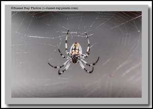 Happy Halloween from Gary the Garden Spider at Russel Ray Photos!