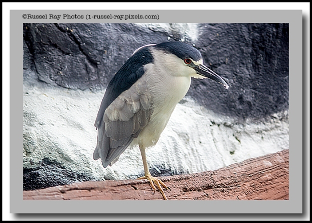 black-crowned-night-heron-4-one-leg