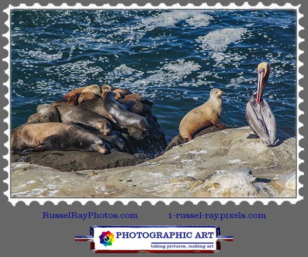 Seals & pelican