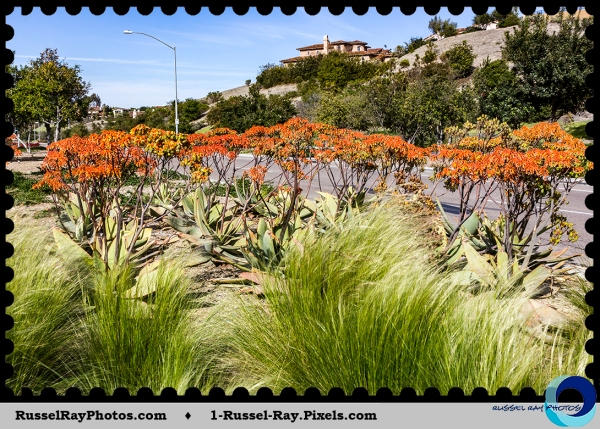 Aloes in San Diego