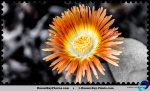 Succulent orange flower