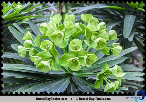 Tree Euphorbia