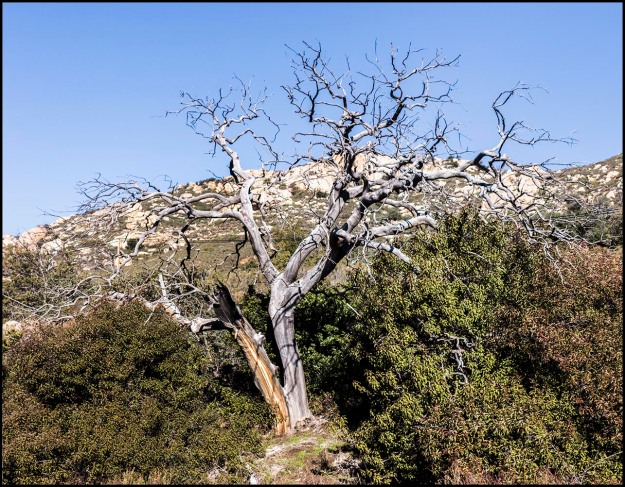 Dead tree in the East San Diego County mountains