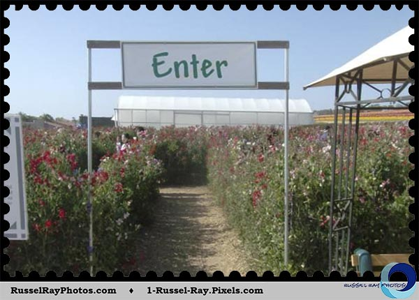 Sweet pea maze at Carlsbad Flower Fields