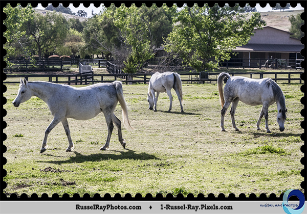 Horses out to pasture in Ramona CA