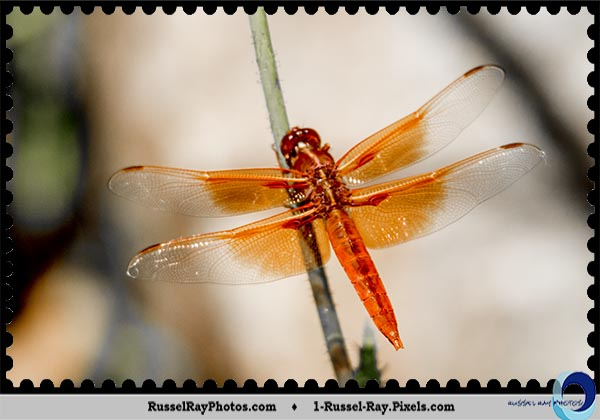 Orange dragonfly at the San Diego Zoo Safari Park