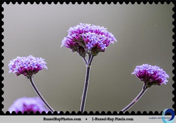 Unknown purple flower cluster